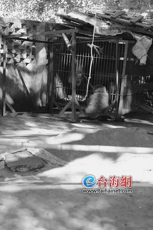 昨日,肇事猴子被锁链拴着,蜷缩在笼子外