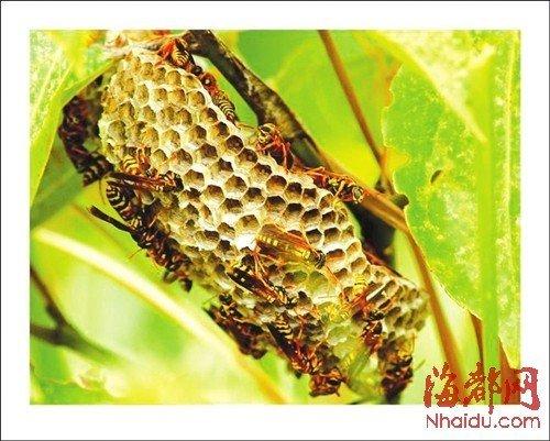 大量马蜂造成的毒性甚至比蛇毒还要强,图片来源网络