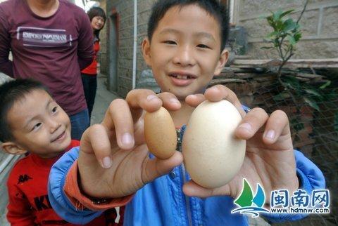 一只鸡生出两种大小不一的蛋