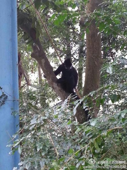 跑出笼子的黑叶猴注视游客。