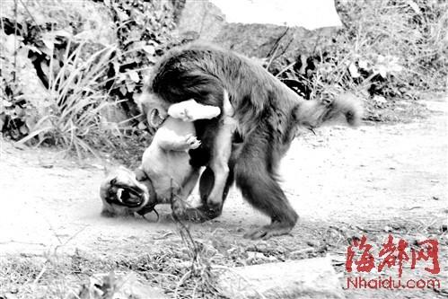 """猴子使出绝招——""""猴摔"""",一招制服小狗"""
