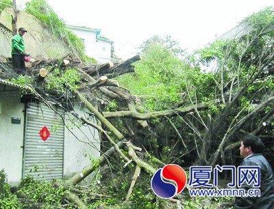 大榕树栽倒,砸中居民的屋顶。