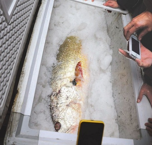 ▲黄唇鱼在海门岛引起轰动