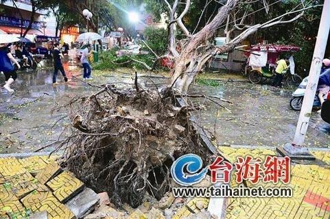 漳州狂风暴雨下冰雹 几棵大树被连根拔起