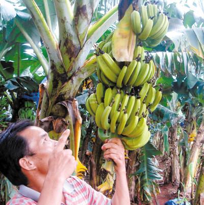 香蕉艾滋病全球蔓延 如病毒无法抵抗香蕉业将覆没