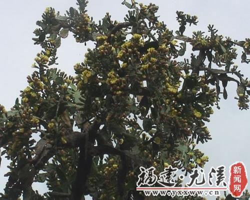 梅仙镇:仙人掌 一树花