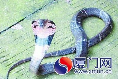 闯进住宅楼的眼镜蛇。