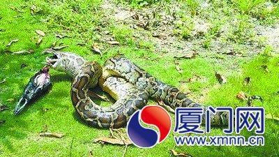 80斤蟒蛇出洞生吞4只活鸡 蛇身比人大腿粗