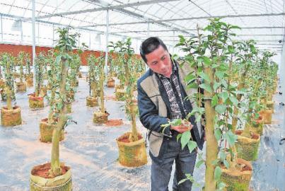 技术员在为多层嫁接的茶花摘除砧木上的新芽