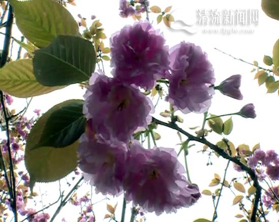 樱花折法步骤 图解