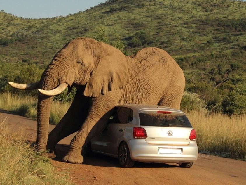 大象用轿车挠痒痒