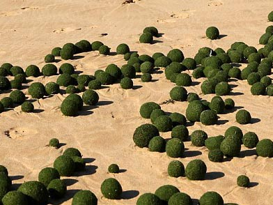 海滩现大量海藻蛋