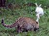小白兔调戏小豹子