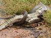 巨蟒绞杀2米鳄鱼