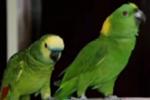 鹦鹉声情并茂高唱《黄土高坡》 绝了!