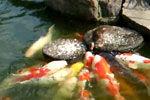 超萌鸭宝宝变身鱼妈妈 给鲤鱼喂食