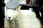 英国农场惊现流氓羊 1天令33只母羊怀孕