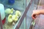 超可爱!一群小鸭子看溜溜球的反应