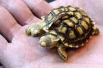 斯洛伐克发现一只双头五腿龟