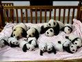 14只熊猫宝宝齐亮相