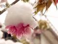 实拍春城昆明罕见大雪 粉红花簇挂白雪