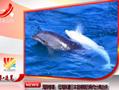 母海豚遭日本猎捕 因骨肉分离自杀