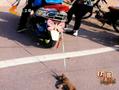 男子骑摩托车虐狗