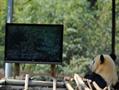 大熊猫看电视