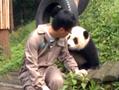 揭秘最萌工作熊猫观察员 年薪20万不加班