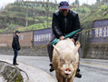 重庆68岁老汉骑猪逛街 很厉害很洋气